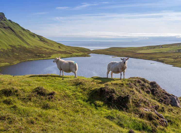Brebis sur l'Ile de Skye